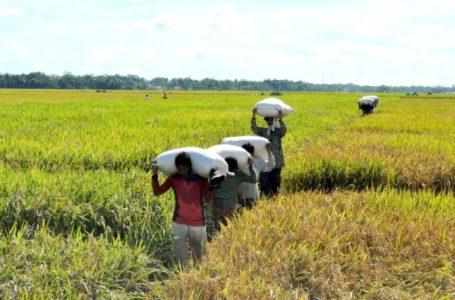 PANEN : Buruh tani di Desa Adipala Kecamatan Adipala tengah mengangkut gabah hasil panenan dari persawahan ke daratan. (Wagino)