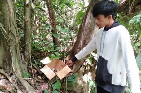 Kukang Jawa Dilepasliarkan ke Hutan Cikawalon