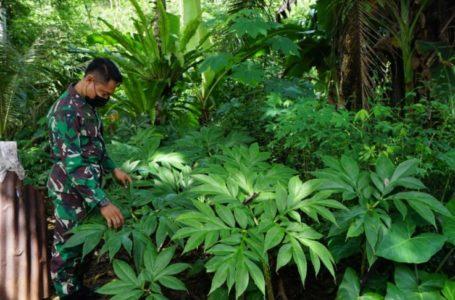 Tanaman Porang Tumbuh Liar di Kebun Warga