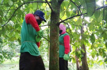 Petani Manggis Desa Matenggeng